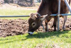 牧草を食す子牛
