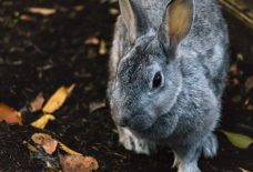 ウサギグレー
