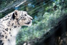 ジャガーの横顔