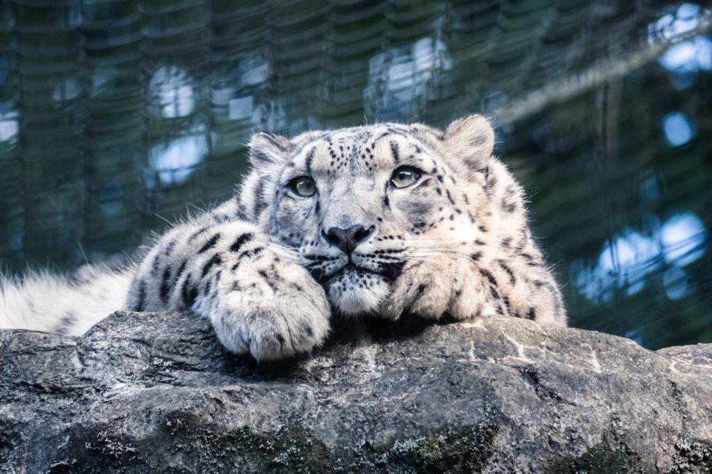 岩場でくつろぐ豹