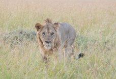 百獣の王(ライオン)
