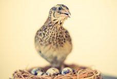卵を守るうずらの親