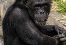さみし気なチンパンジー