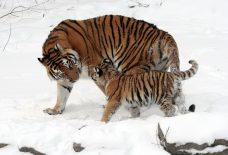 tigers-67577_1920